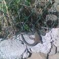 Jeden z endemicznych gatunków kanaryjskich jaszczurek (teneryfa). Zdjęcie słabej jakości bo nie mam doświadczenia w polowaniu z aparatem.