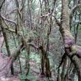 Las laurowy (hiszp. laurisilva) na La Gomerze. Przed ostatnim zlodowaceniem takie lasy porastały cały rejon morza śródziemnego. Są one bezcennym dziedzictwem naturalnym wysp, a na La Gomerze zachowały się najlepiej. Zagłębiając się w gomerską laurisilvę miałem wrażenie, że cofnąłem się w czasie.